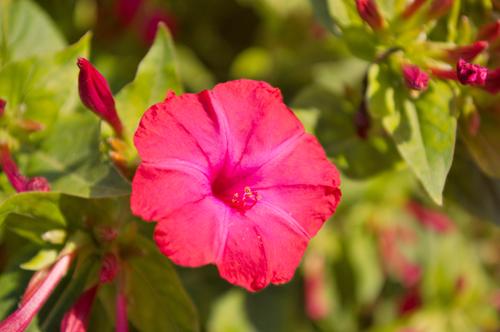 Unknown Pink Flower