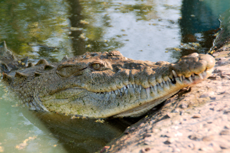 Crocodile in the mangroves at San Blas, Mexico