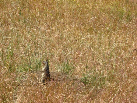 Ground Squirrel Mission Peak Fremont CA