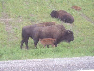 Buffalo along the Alcan Highway in the Yukon