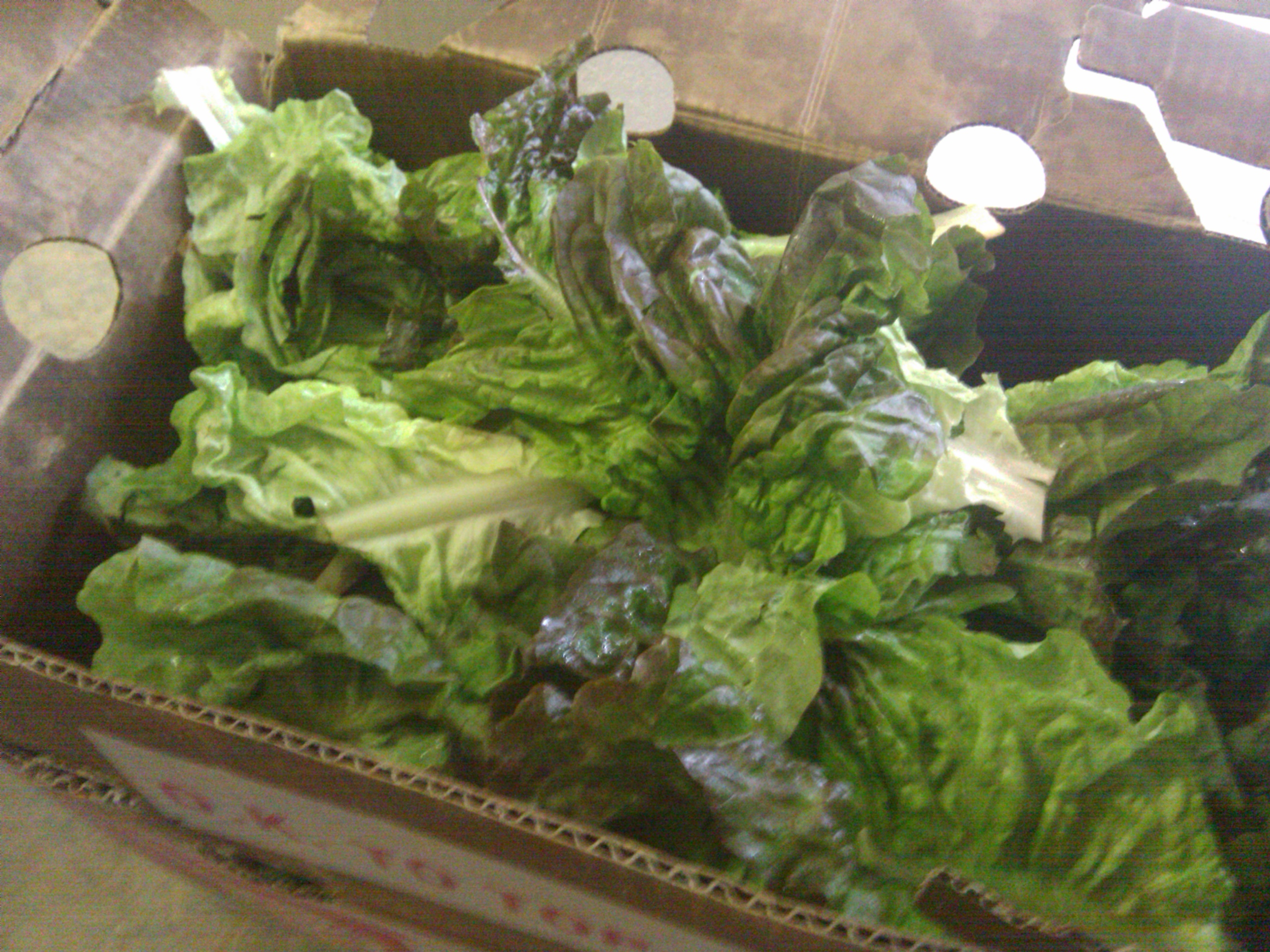 Lettuce waste from local market bound for compost or garbage